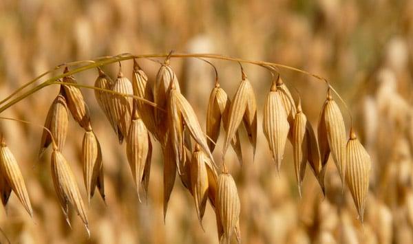 sgn-kaura-oats-600